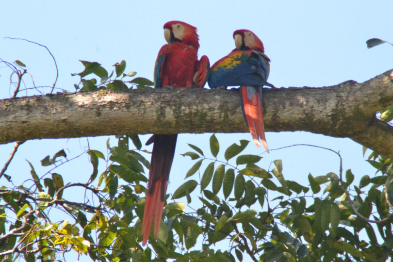Costa Rica rondreis ara's in boom