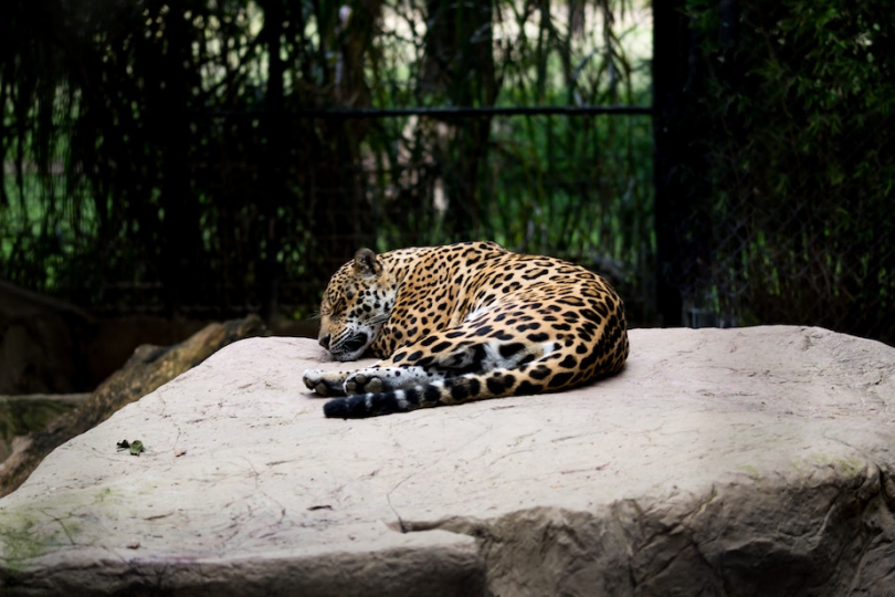 Jaguar rescue center Costa Rica